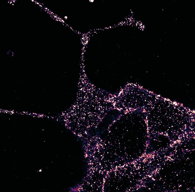 GLP1R Visualized in Insulin-Secreting Beta Cells at Super-Resolution