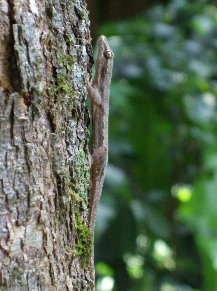 Gecko After Landing on Tree Trunk