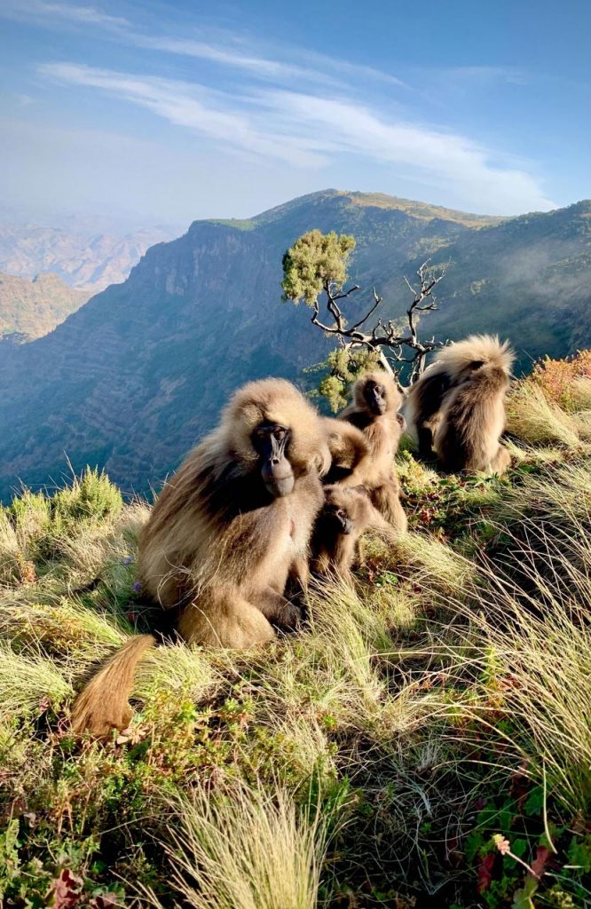 Geladas at Simien Mountains National Park