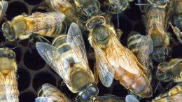 Gentle Africanized Honey Bees
