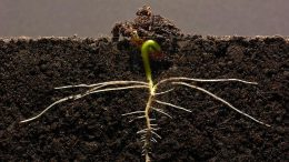Germinating Bean Seedling Growing Lateral Roots