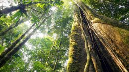 Giant Amazon Rainforest Tree