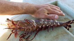 Giant Asian Tiger Prawn Threatens Texas Gulf Coast