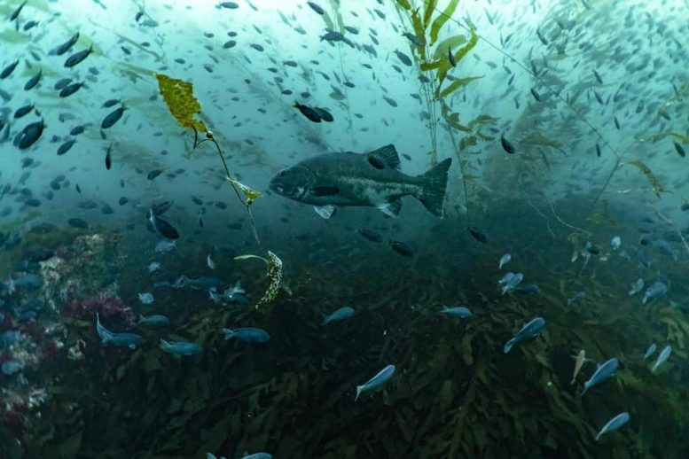 Giant Sea Bass Populations in Mexico