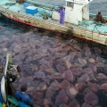 Giant jellyfish clogging fishing nets in Japan