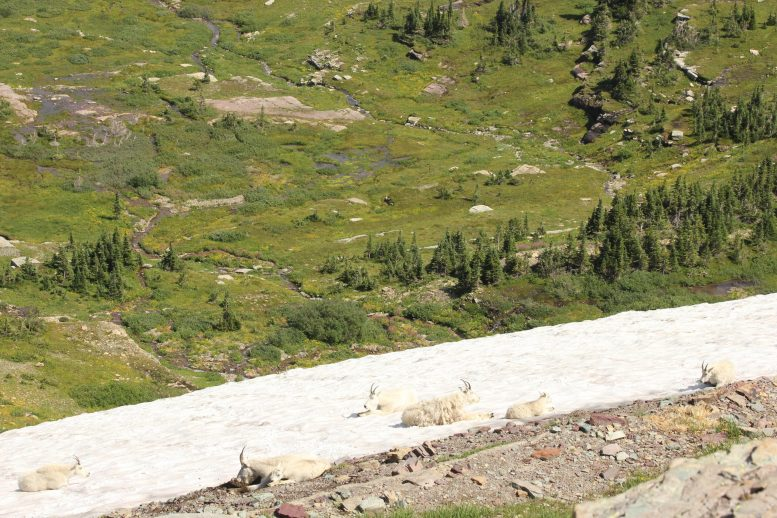 Glacier National Park Mountain Goats