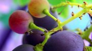 Grape seed extract kills head and neck cancer cells