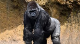 Great Ape Gorilla