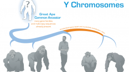 Great Ape Y Chromosome Evolution