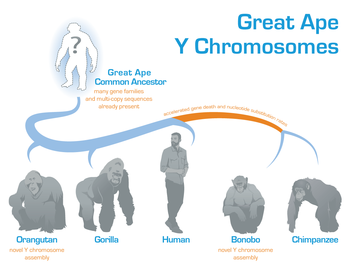 Genetic Analysis Reveals Evolution of the Enigmatic Y Chromosome in Great Apes