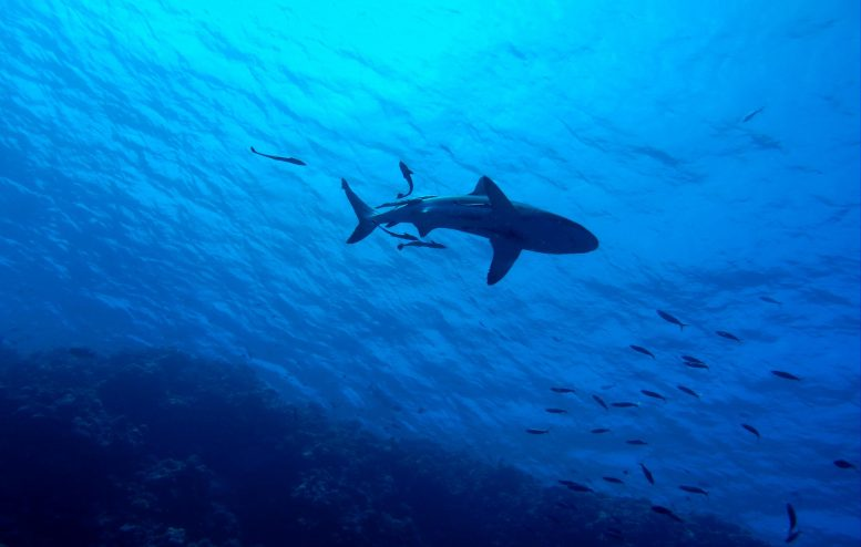 Great Barrier Reef Shark