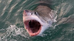 Great White Shark Open Mouth