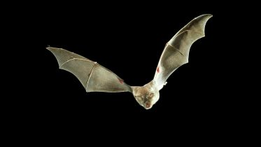 How Do Bats Resist COVID? Insights Could Lead to New Treatments for Humans