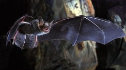 Greater Mouse Eared Bat