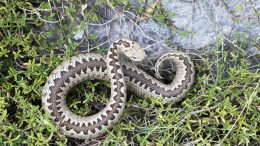 Greek Meadow Viper