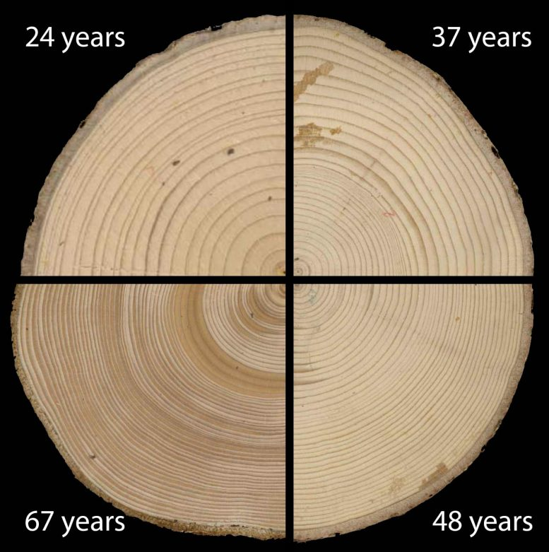 Growth Rings of Balsam Fir