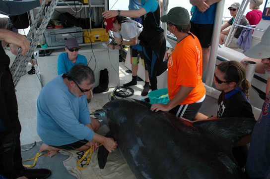 Gulf Dolphins Severely ill