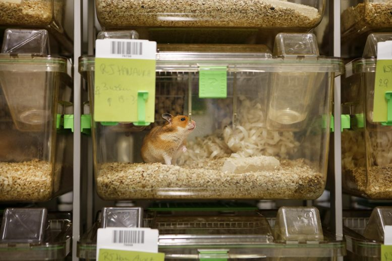 Hamsters for SARS-CoV-2 Research