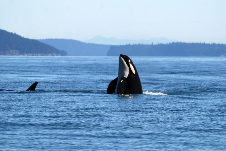 Healthy Killer Whale in Ocean