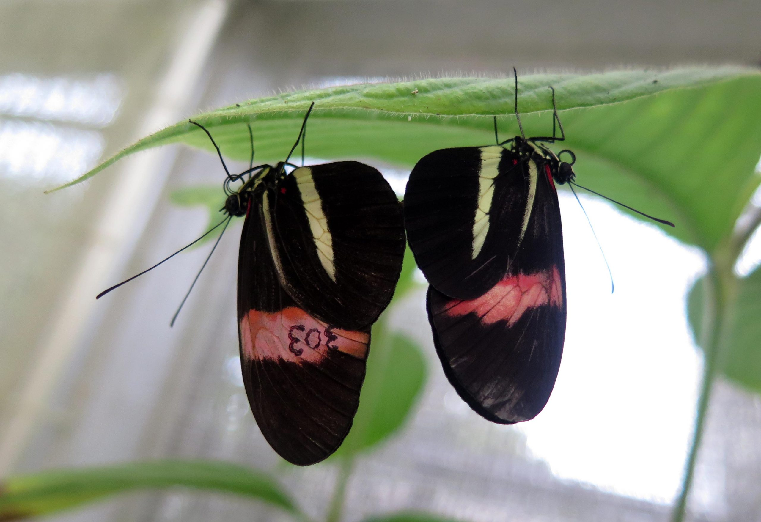 """Male butterflies mark their partners with a repulsive odor during sex to """"exclude"""" other suitors"""