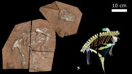 Heterodontosaurus tucki Specimen Am 4766