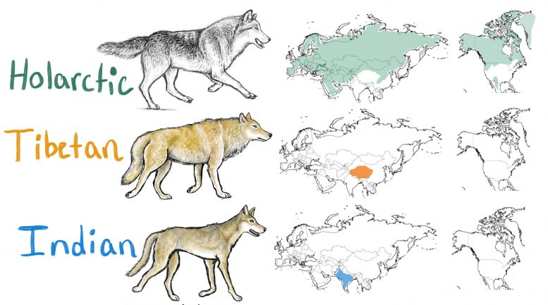 Holarctic, Tibetan and Indian Wolf Ranges