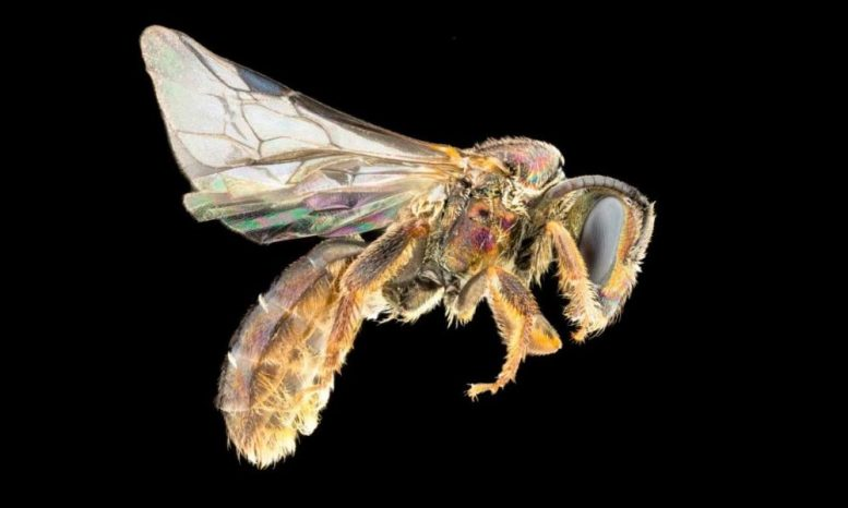 Homalictus groomi A new species of Fiji bees