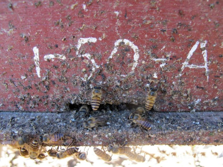 Honey bees go to the entrance of the animal hive