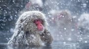 How Japan's Snow Monkeys Cope With the Cold