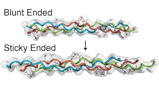 How Synthetic Collagen Fibers Self-Assemble