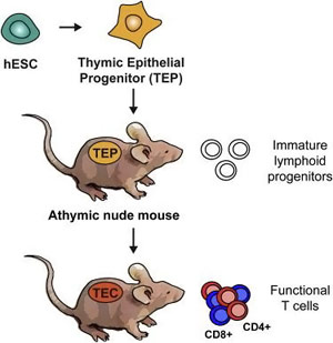 Human Stem Cells Generate Immune System in Mice