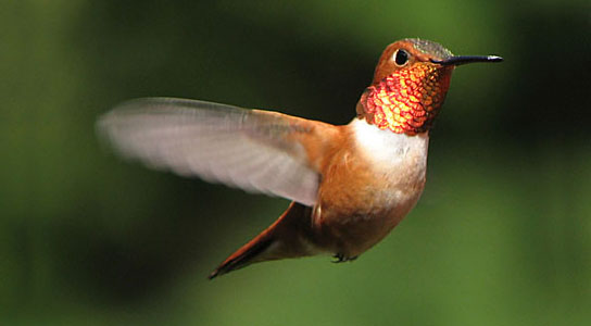 Hummingbirds pay no attention to flower color