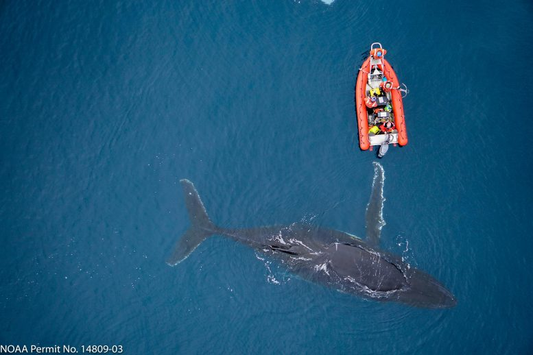 Humpback Whale With Researchers