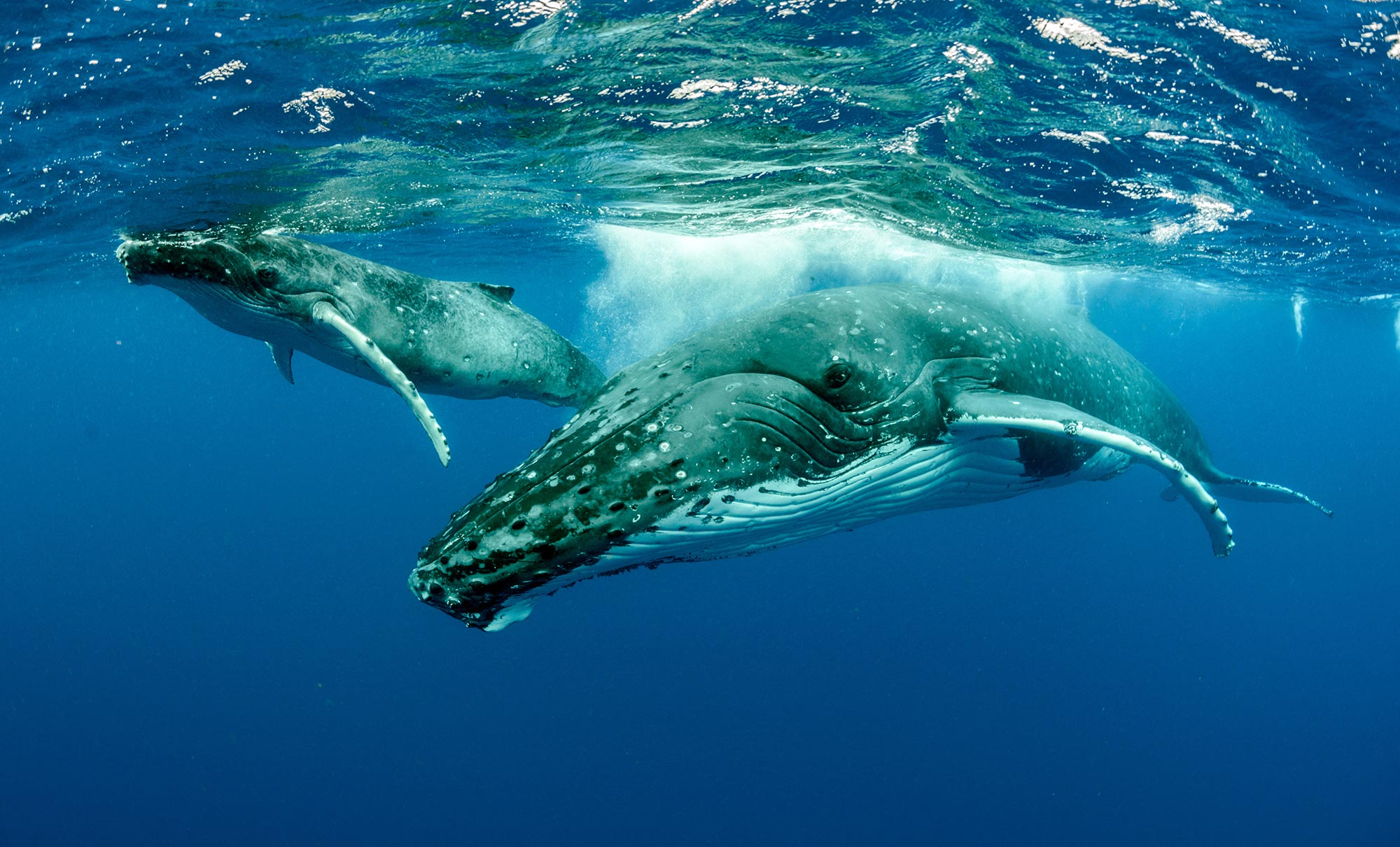 Recovering From The Brink Of Extinction Humpback Whale Population Rises Faster Than Expected