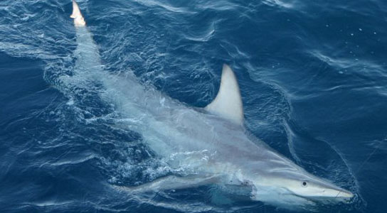 Hybrid Sharks Discovered Near Australia