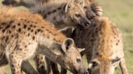 Hyena Moms Pass Their Networks to Their Kids