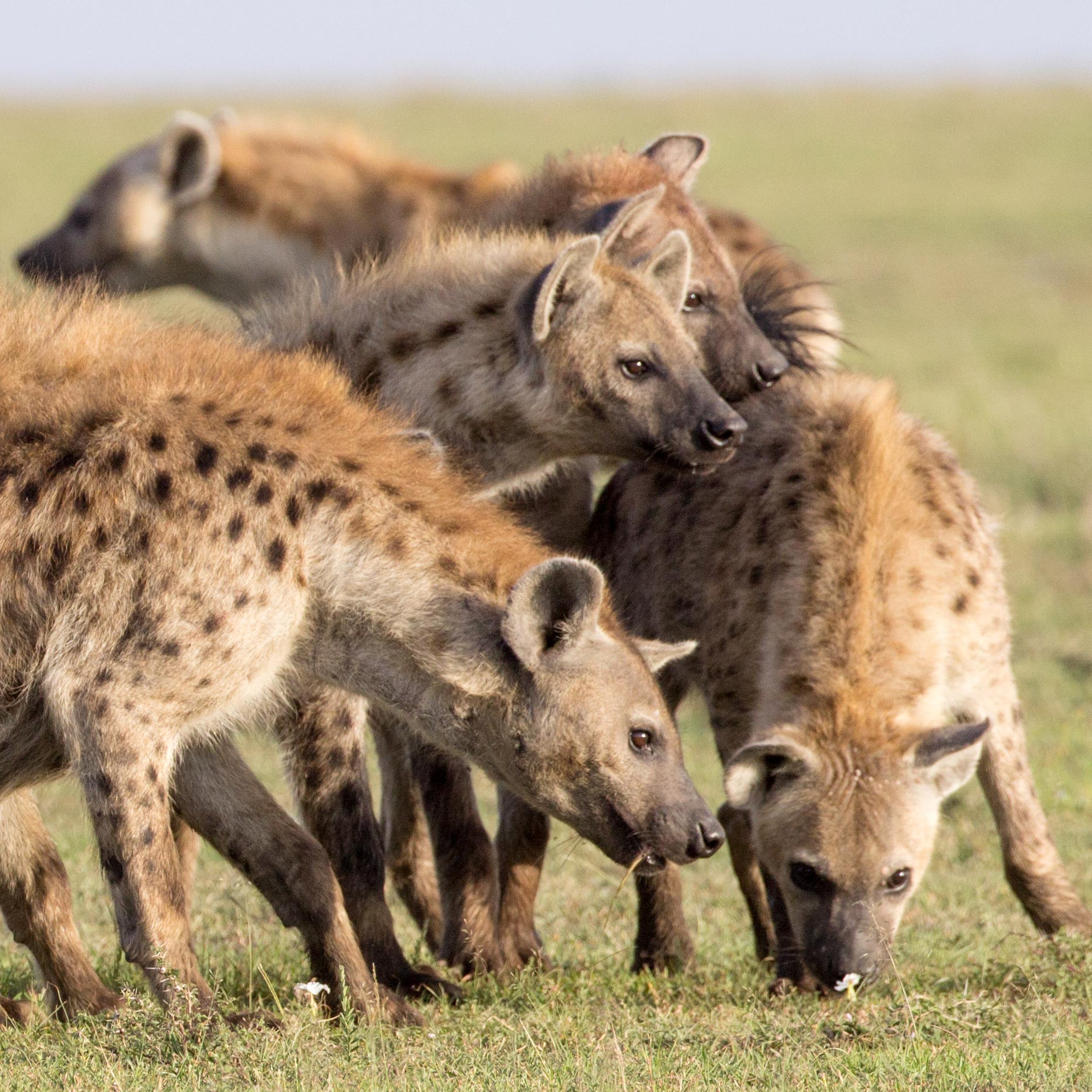 Inheritance of Rank: Hyena Mothers Pass Their Social Networks to Their Cubs - SciTechDaily