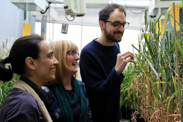Improving Wheat Photosynthesis