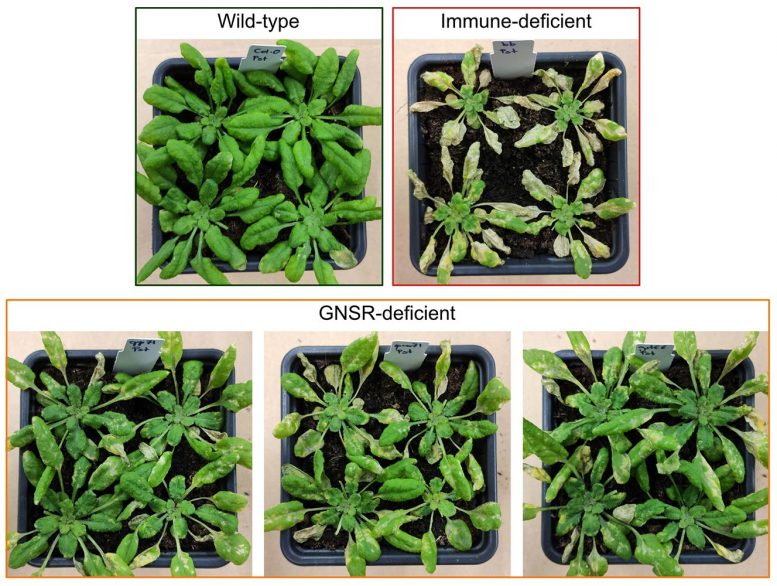 Intact Immune and Immunedeficient Plants
