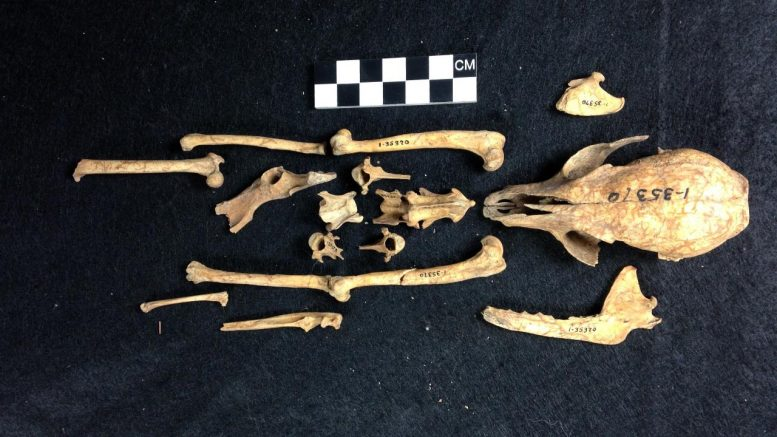 Island Fox Skeleton