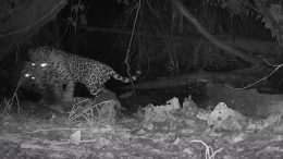 Jaguar Killing Ocelot