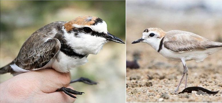 Kentish and White-faced Plover