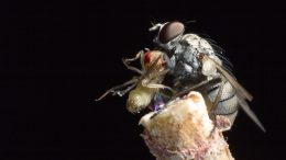 Killer Fly With Prey