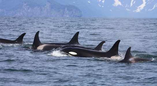Killer Whales Demonstrate Cross-Species Vocal Learning