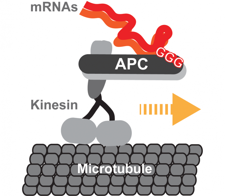 Kinesin-2 Transporting mRNA