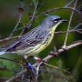 Kirtland's Warblers Endangered Species of Birds
