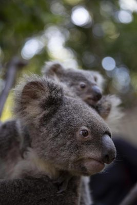 Koalas Looking into the Distance