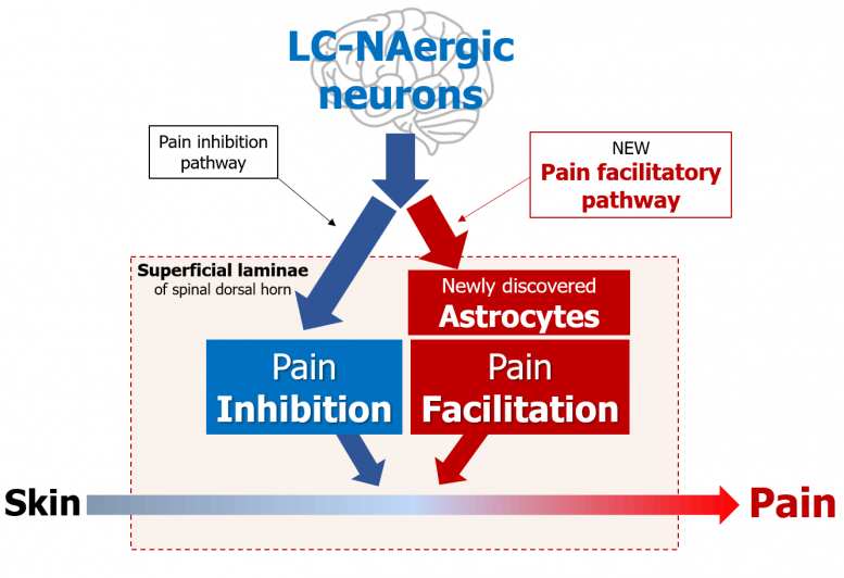 LC-NAergic Neurons