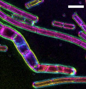LC PolScope image of cell wall sacculi purified from Bacillus subtilis