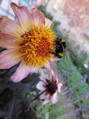 Large Bumblebee on a Flower
